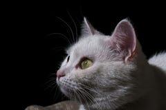 Bozal del gato blanco en fondo negro Fotografía de archivo