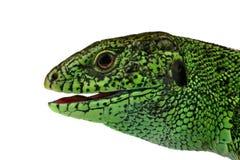 Bozal del lagarto Fotos de archivo libres de regalías