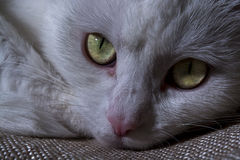 Bozal del primer blanco del gato Fotos de archivo libres de regalías