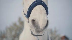 Bozal del primer hermoso del caballo Los caballos caminan al aire libre en el invierno metrajes