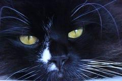 Bozal felino que miente y que duerme Ascendente cercano del gato foto de archivo