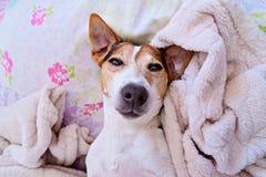 Bozal soñoliento lindo del perro que mira la cámara imagenes de archivo