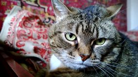 Bozal triste gordo de un gato Primero, mirando la cámara, entonces da vuelta almacen de metraje de vídeo