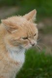Boze beige kat Royalty-vrije Stock Afbeeldingen