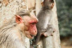 Boze Bonnet macaques aap in rood gezicht stock foto