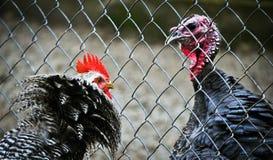Boze haan versus Turkije Royalty-vrije Stock Afbeeldingen