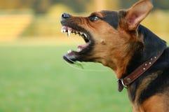 Boze hond met blote tanden Stock Foto's