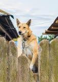 Boze hond op een leiband achter de omheining Stock Afbeeldingen