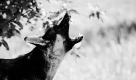 Boze hondaanvallen De hond kijkt agressief en gevaarlijk royalty-vrije stock foto's