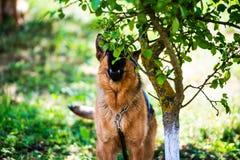 Boze hondaanvallen De hond kijkt agressief en gevaarlijk Italiaanse windhond royalty-vrije stock afbeelding