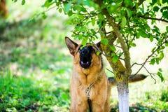 Boze hondaanvallen De hond kijkt agressief en gevaarlijk Italiaanse windhond stock fotografie