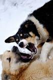 Boze honden met blote tanden royalty-vrije stock afbeeldingen