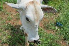 Boze koe royalty-vrije stock foto