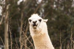 Boze lama die tanden, agressieve alpaca, kwaad met terug oren tonen, beschermend en dier bedreigen royalty-vrije stock afbeelding