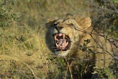 Boze Leeuw in de gekleurde woestijn van Kalahari in Botswana, Royalty-vrije Stock Afbeeldingen