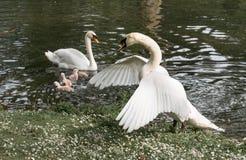 Boze mannelijke zwaan die zijn kleine jonge zwanen beschermen Stock Afbeeldingen