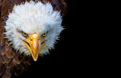 Boze Noordamerikaanse kale adelaar op zwarte achtergrond stock afbeelding