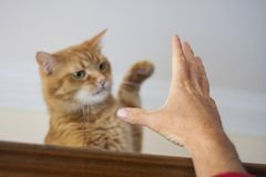 Boze rode kat die tegen een menselijke hand van ` vechten s royalty-vrije stock fotografie