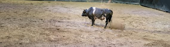 Boze Stier die en de Grond handtastelijk worden snurken stock fotografie