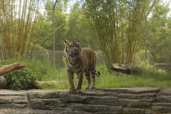 Boze Sumatran-tijger royalty-vrije stock afbeelding