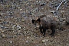 Boze wilde varkens royalty-vrije stock fotografie
