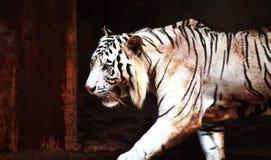 Boze witte tijger die in kooi lopen stock afbeeldingen