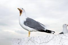 Boze zeemeeuw Royalty-vrije Stock Foto