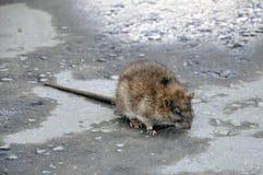 Bozhshaya gray rat sitting on the pavement, eyes closed royalty free stock photo
