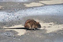 Bozhshaya gray rat sitting on the pavement, eyes closed royalty free stock images