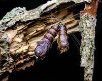 Bozzoli di Caterpillar del lepidottero zingaresco Immagine Stock Libera da Diritti