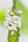 Bozzoli emergenti della vespa sulla larva del tabacco Fotografia Stock Libera da Diritti