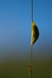 Bozzolo del lepidottero su paglia Fotografie Stock Libere da Diritti