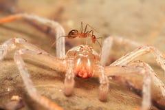 Bozzolo del ragno e della formica Immagini Stock