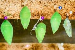 Bozzolo della farfalla di monarca Fotografia Stock