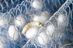 Bozzolo di seta bianco Immagini Stock