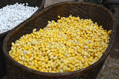 Bozzolo di seta giallo e bianco fotografia stock