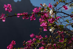 Brácteas Tenerife da buganvília Imagem de Stock Royalty Free