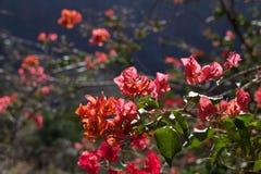 Brácteas Tenerife da buganvília Imagem de Stock