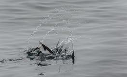 Brà ¼潜水的nnich的海雀科的鸟在Alkefjellet, Hinlopenstretet,卑尔根群岛附近 库存图片