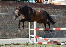 Brązu trakehner sporta konia bezpłatni skoki nad przeszkodą obrazy stock