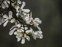Bräcklig blomning - blommandemagnoliafilial Arkivfoton