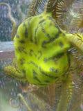 Bräcklig sjöstjärna Royaltyfria Foton