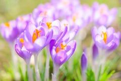 Bräckliga och försiktiga violetta krokusvårblommor Arkivfoton