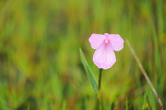 Bräckligt berg för blomma Arkivfoto