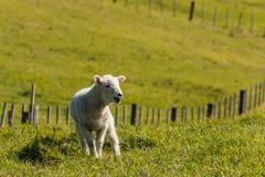 Bräka lamm i paddock Royaltyfri Fotografi