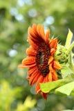 Bränd orange solros Arkivfoton