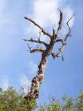 Bränd tree Royaltyfri Fotografi