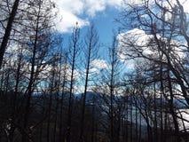 Brända Forrest träd royaltyfria foton