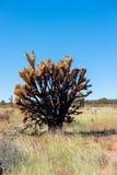 Brända Joshua Tree Arkivbilder