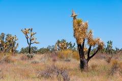 Brända Joshua Tree Royaltyfria Foton